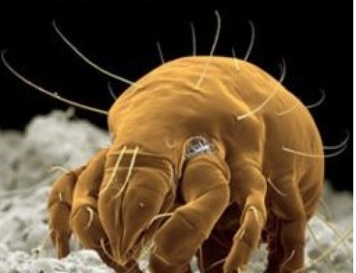 Allergy Relief: Kill Dust Mites by Carpet Cleaning and Furniture Cleaning